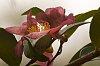 -camellia3.jpg
