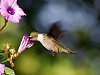 -butterfly-hummingbird-006bs.jpg