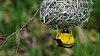 -masked-weaver-nest-building-1540.jpg