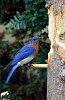 -2016-05-04-bluebird-0215.jpg