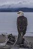 -eagle_pentax-forums_bird-contest.jpg