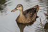 -duck.jpg