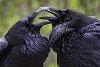 -common_ravens_1346x900.jpg