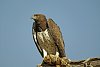 -martial-eagle-5-5368_edited-2.jpg