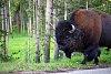 -bison.jpg