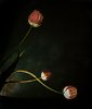 -tulips-11_9-3670.jpg