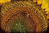 -bee-sunflower-1.jpg