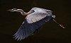 -blue-heron-flight-resized.jpg