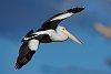 -pelican-flight-compressed.jpg