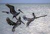 -_img6265-3-pelicans-flight-.jpg
