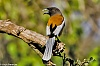 -3-6-swm-rufous-tree-pie-1-1-_filtered.jpg