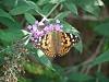 -butterfly-butterfly-bush-8-9-2010.jpg