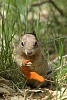 -zion-squirrel_igp1553.jpg