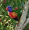 -lorikeet.australian-native-parrot.jpg