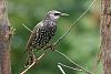 -european-starling.jpg