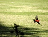 -low-flying-vermilion-flycatcher.jpg