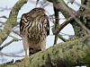 -cooper-hawk-2-abby-feb-5-11.jpg