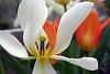 -spring-tulips.jpg