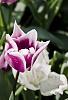 -araluen-tulip-800.jpg