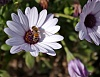-bee_polinating_flower_1024_x_789.jpg