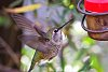 -hummingbird-flight-.jpg