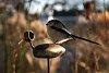-long-tailed-tit.jpg