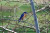-bluebird-white-birch-2a.jpg