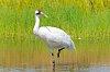 -whooping-crane-wading-marsh.jpg