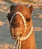 -camel-2.jpg