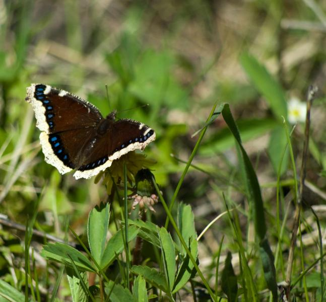 Name:  Butterfly20100613_0423.jpg
