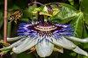 -passiflora-6994.jpg