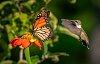 -butterfly-hummingbird.jpg