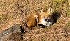 -fox-soaking-up-sun.jpg
