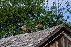 -kp_geese_on_the_roof.jpg