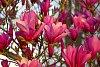 -magnolia-004.jpg