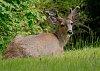 -prince-rupert-deer-2.jpg