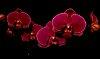 -orchid-s.jpg