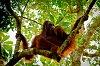 -bornean-orangutan.jpg