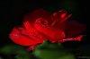 -sparkling-rose-1.jpg
