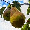 -pear-2.jpg