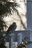 -mourning-dove-2.jpg
