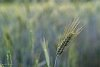 -grain-wheat-desktop-wallpaper-michael-j.jpg