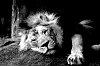 -lions_bw072915_01.jpg