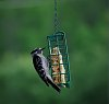 -downywoodpecker-19.jpg