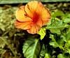 -orange-hibiscus.jpg