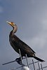 Another Bird in the Everglades-imgp2259b.jpg