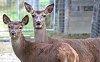 -1015178005_v2bright_eyed_red_deer2.jpg
