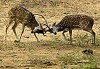 -deer-fighting-1.jpg