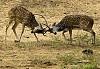 -deer-fighting-1.jpg