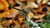-dragon-fly-3.jpg
